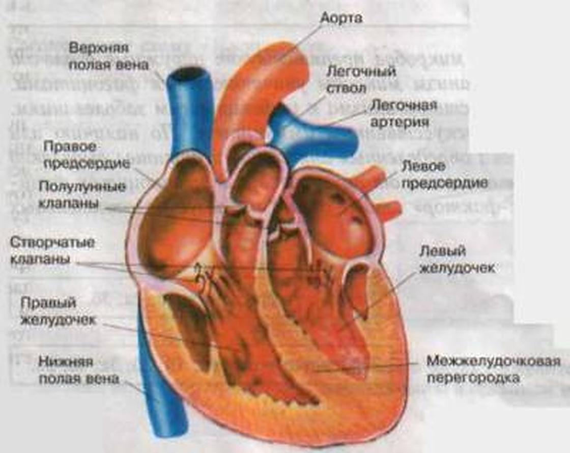 Сердце: всё самое интересное о сердце человека