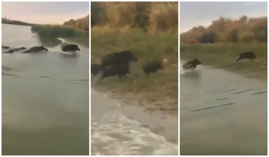Семейку кабанов сняли на видео в Атырауской области