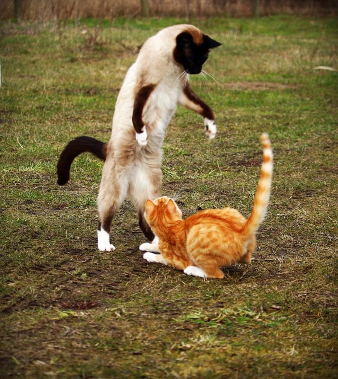 Сиамская кошка: описание породы, фото, характер