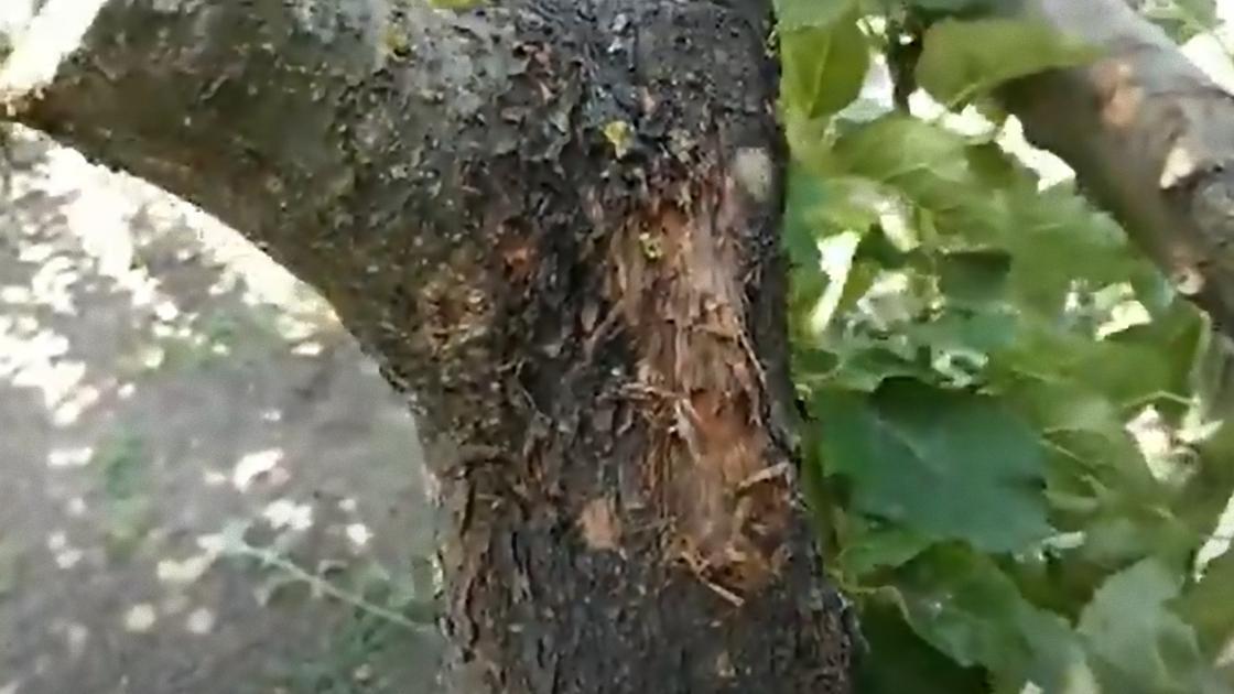 Кора на дереве мочалится и отпадает