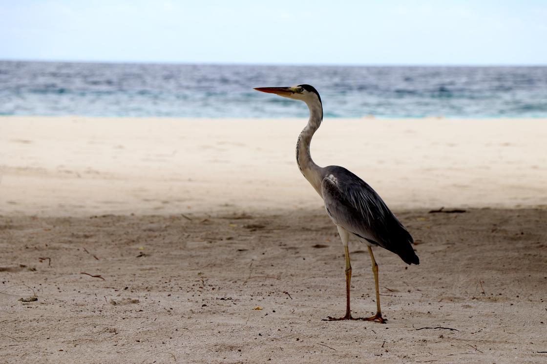 Цапля на пляже