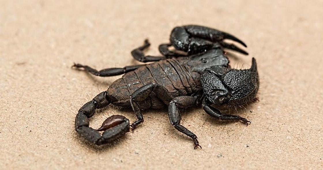 Ученые нашли оружейный арсенал у скорпионов
