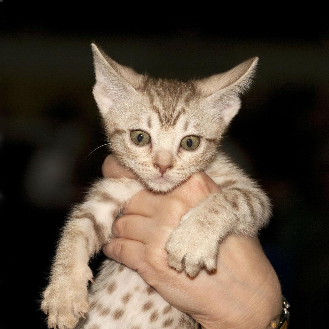 Бенгальская кошка: фото, характер, описание породы