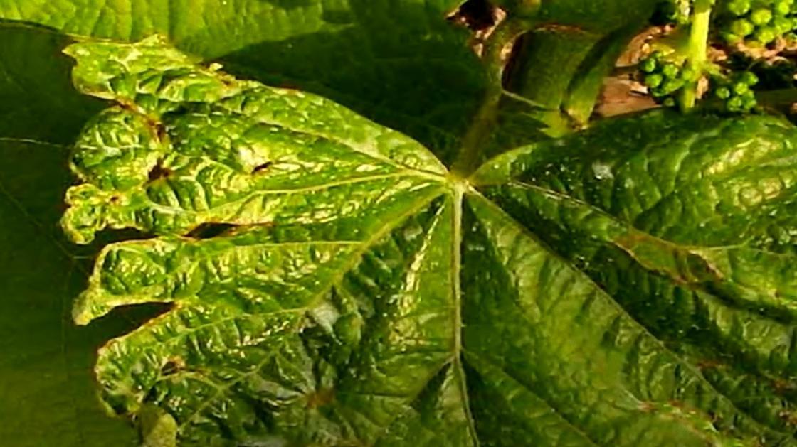 Лист винограда с дырчатыми коричневыми пятнами