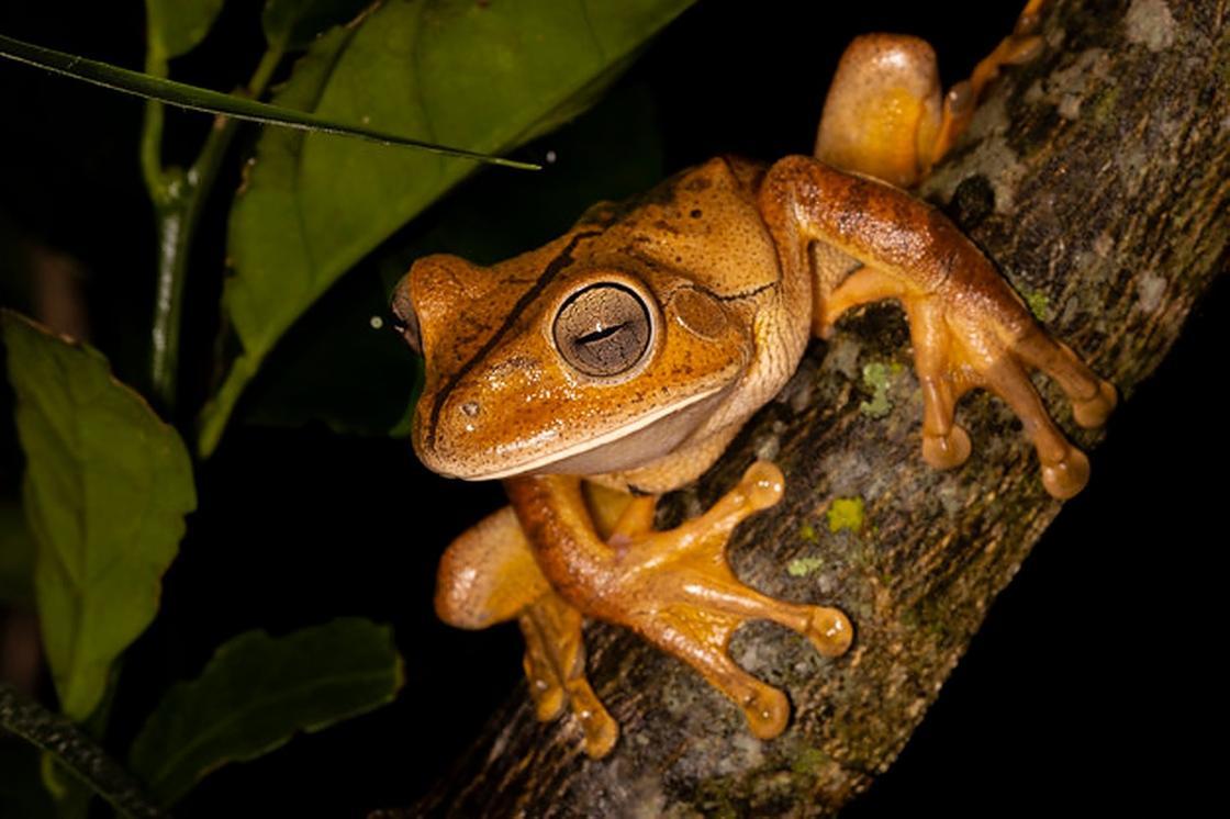 Кузнечная древесная лягушка