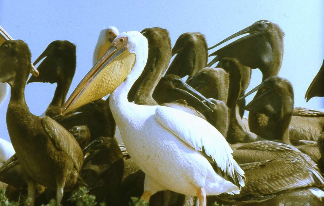 Пеликан в заповеднике