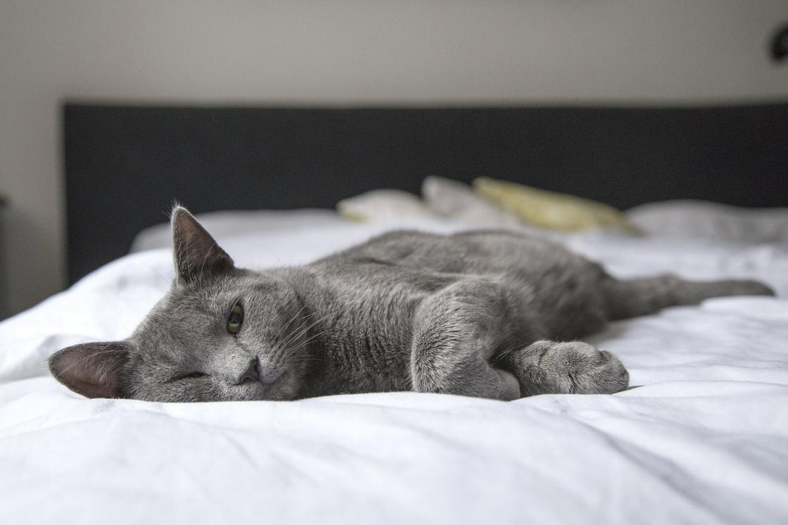 Серая кошка лежит на кровати со светлым постельным бельем