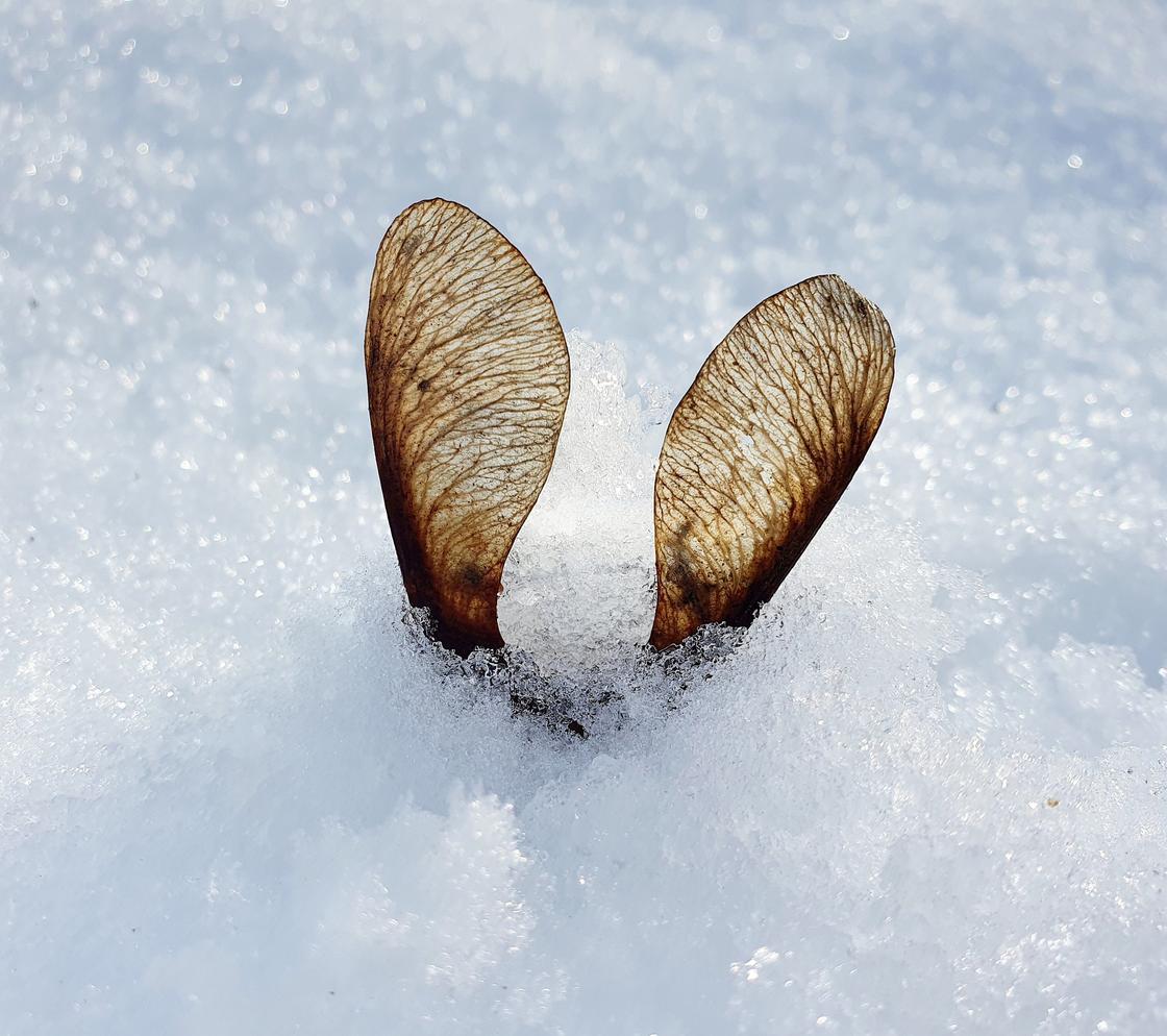 Семя в снегу