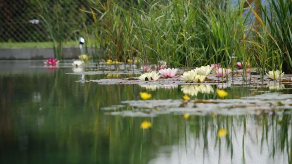 На пруду цветут водные лилии и растет камыш