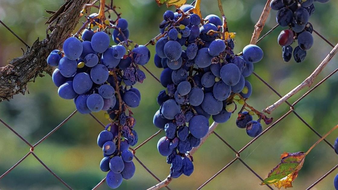 На ветке висят гроздья синего винограда