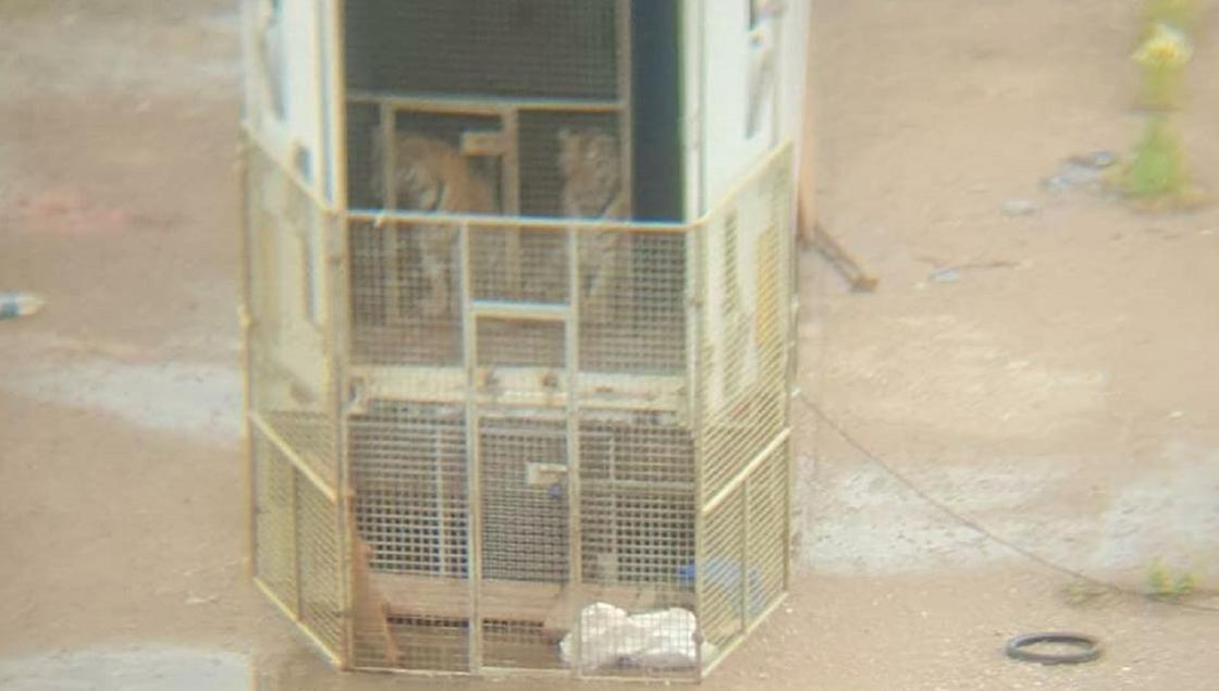 Слухи о фуре с тиграми на штрафстоянке в Нур-Султане прокомментировали в полиции