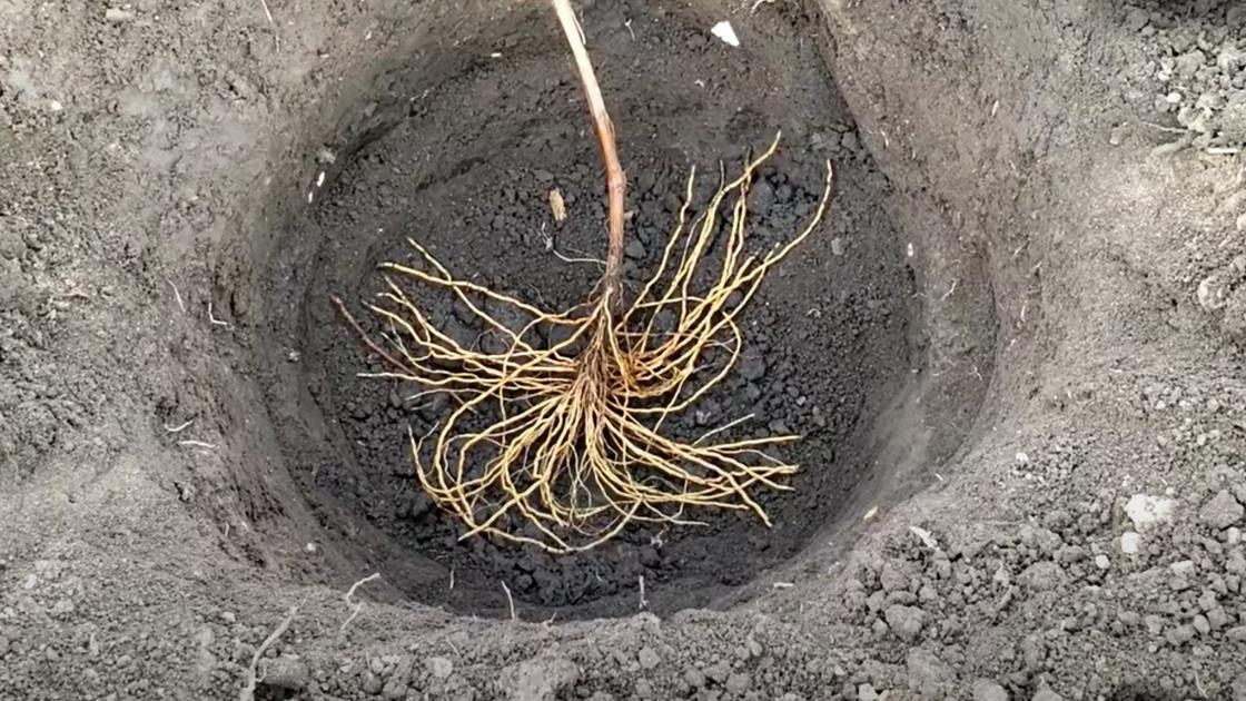 Саженец винограда с развитой корневой системой в лунке