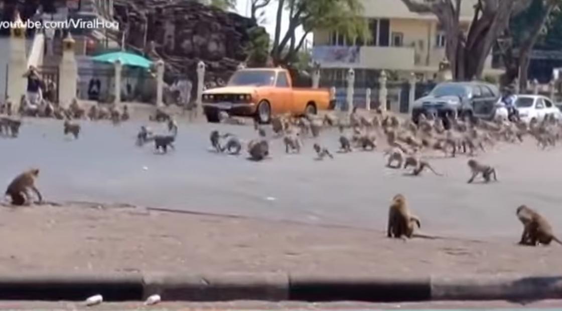 Голодные обезьяны захватили город в Таиланде (видео)