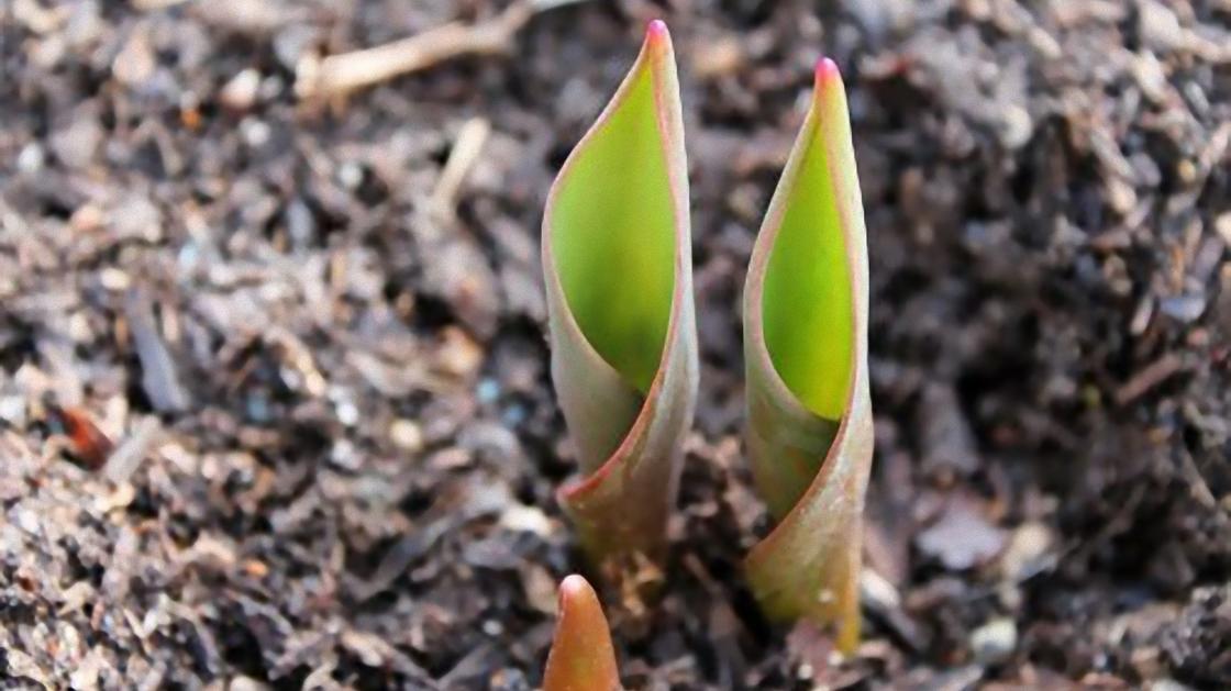 Ростки тюльпанов на клумбе