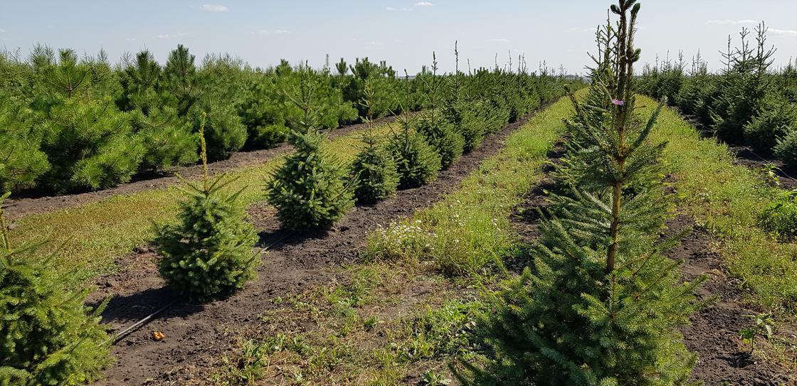 Более 2,5 тыс. гектар озеленено Акмолинской областью на окраинах столицы