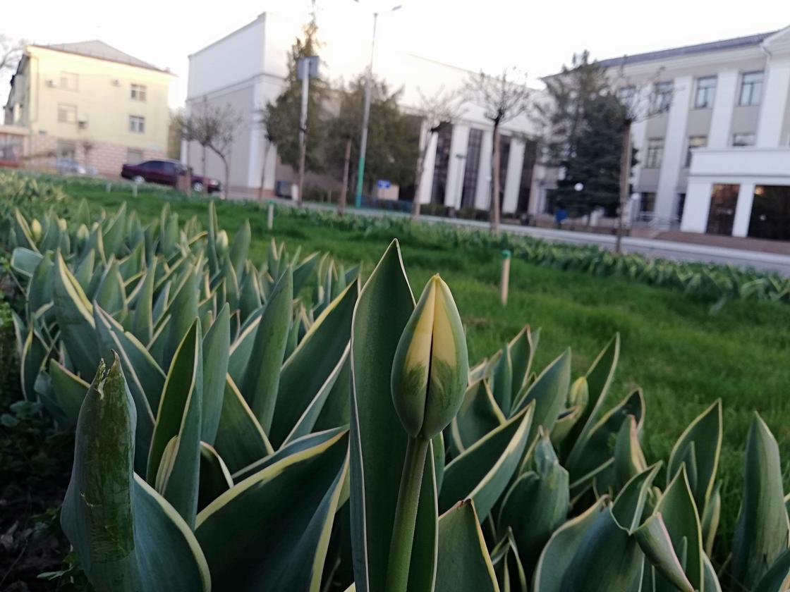 Тюльпаны расцвели в Шымкенте