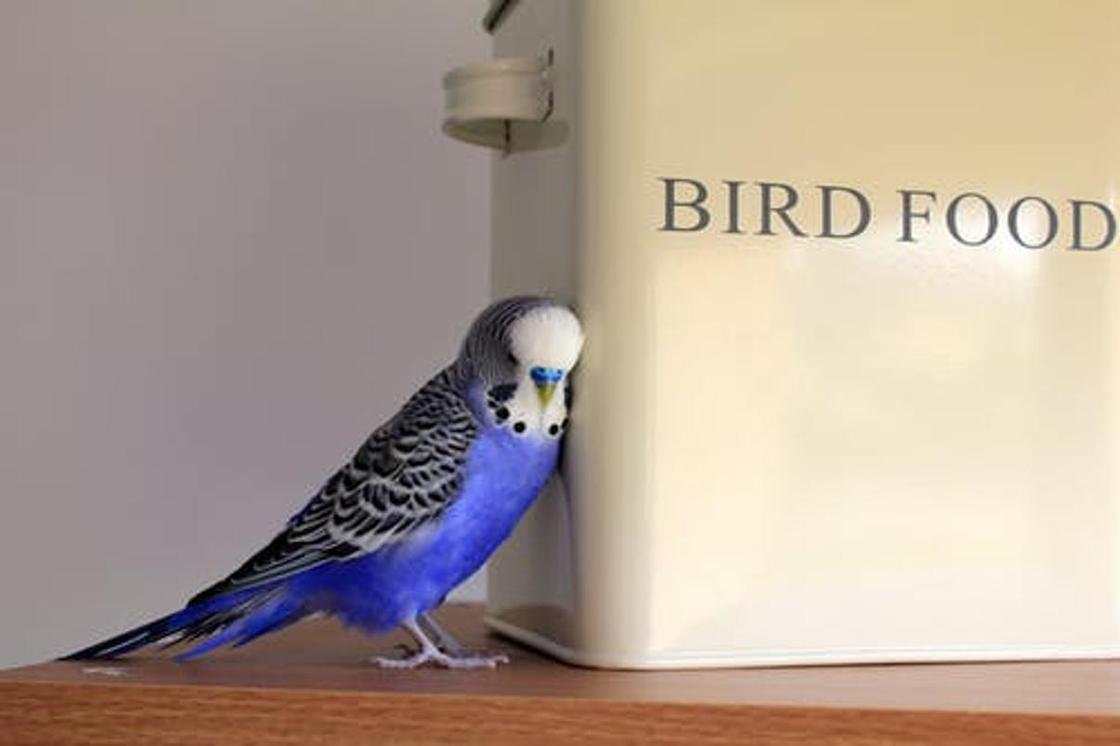 Как научить волнистого попугая говорить: простые советы