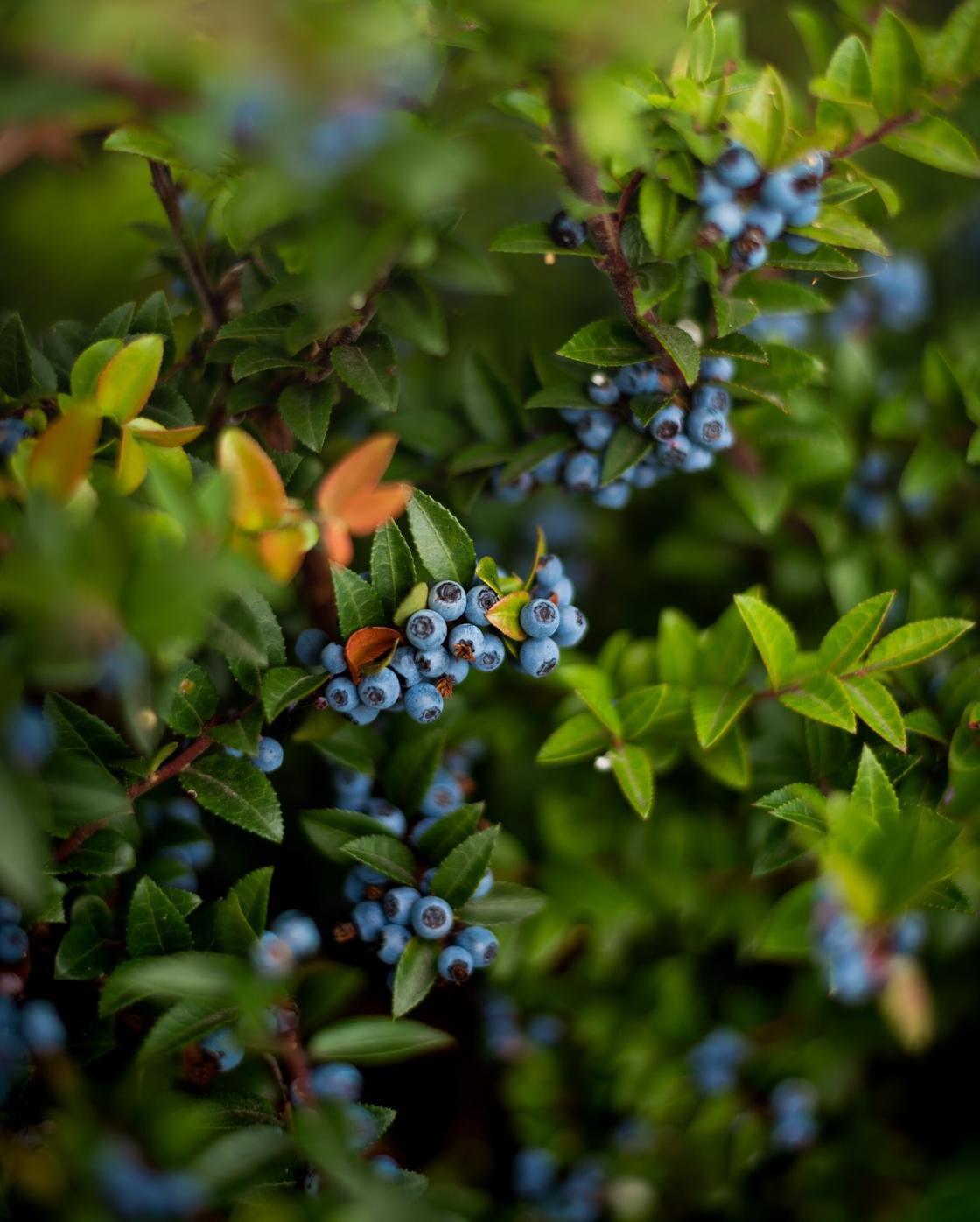 Голубика и черника: отличия