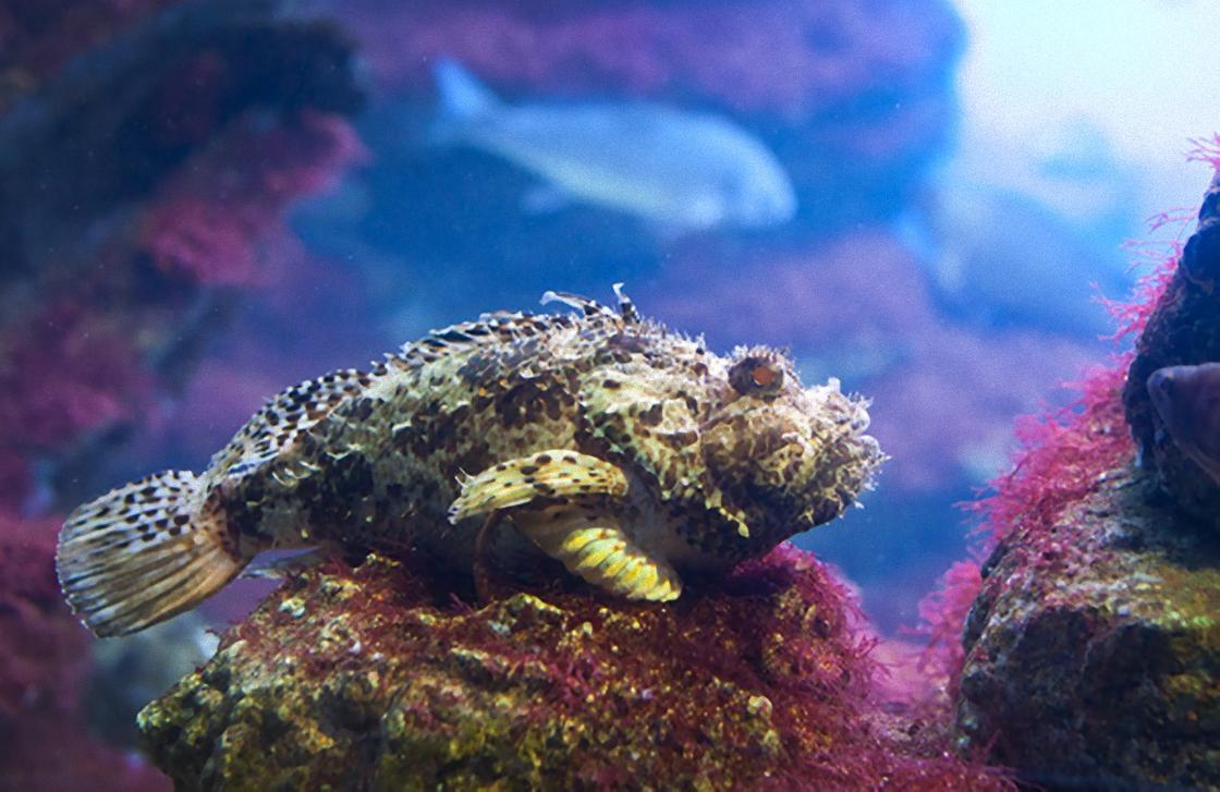 черноморская скорпена