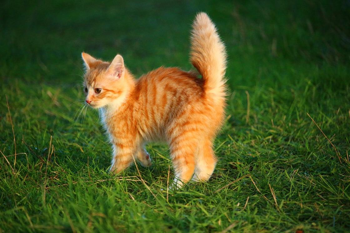 рыжий котенок на лужайке