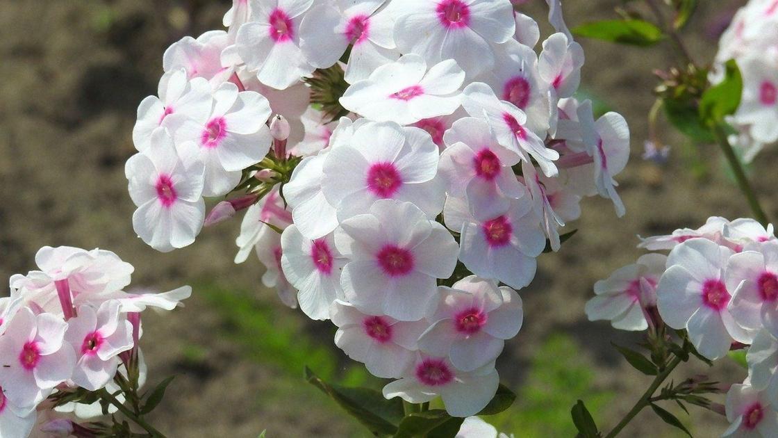 Соцветия флокса бело-розового цвета