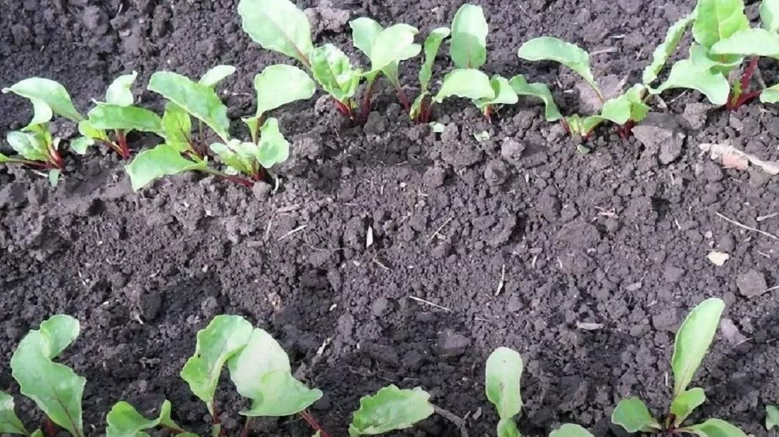 Сеянцы свеклы в земле