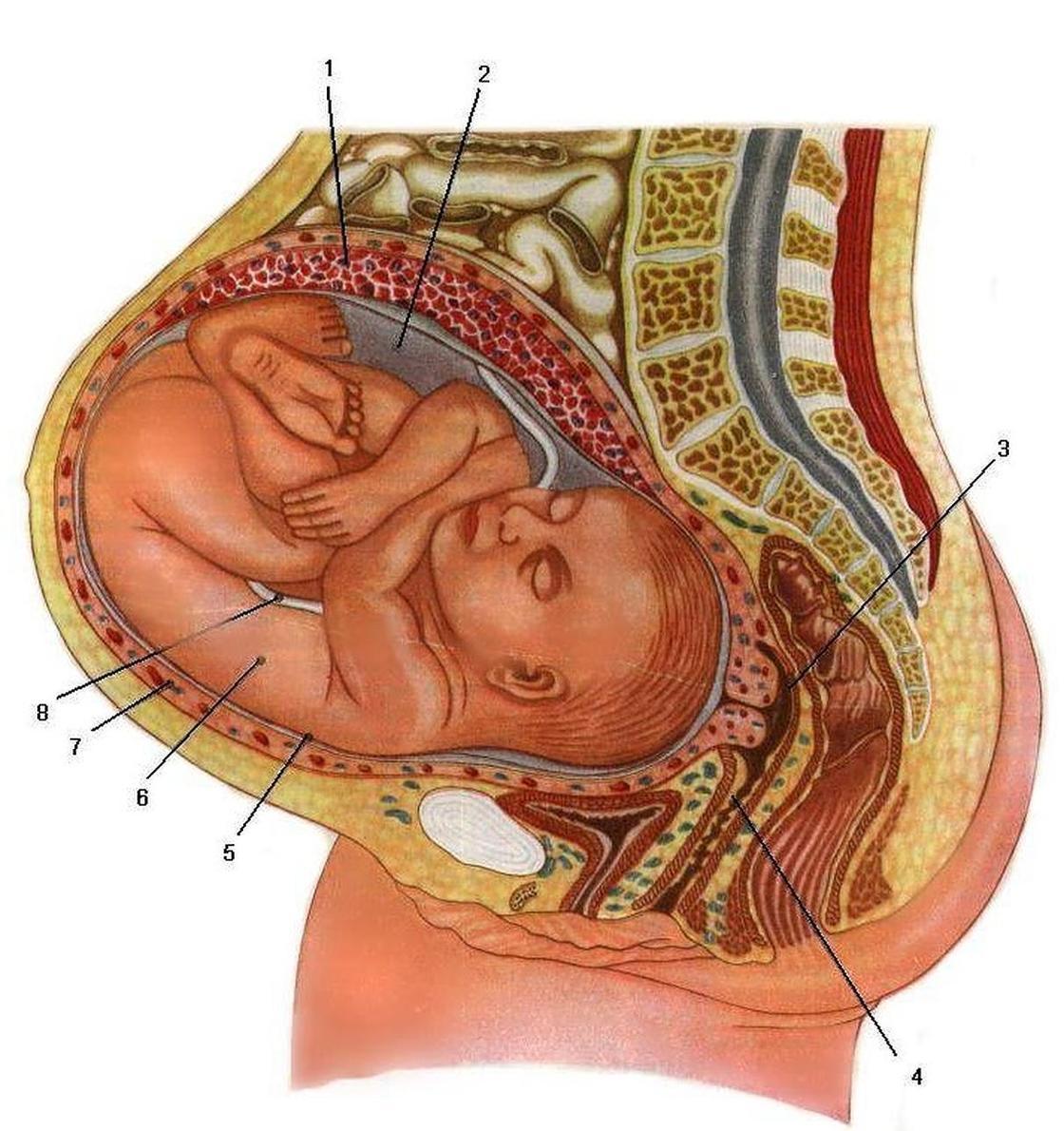 Организм беременной женщины