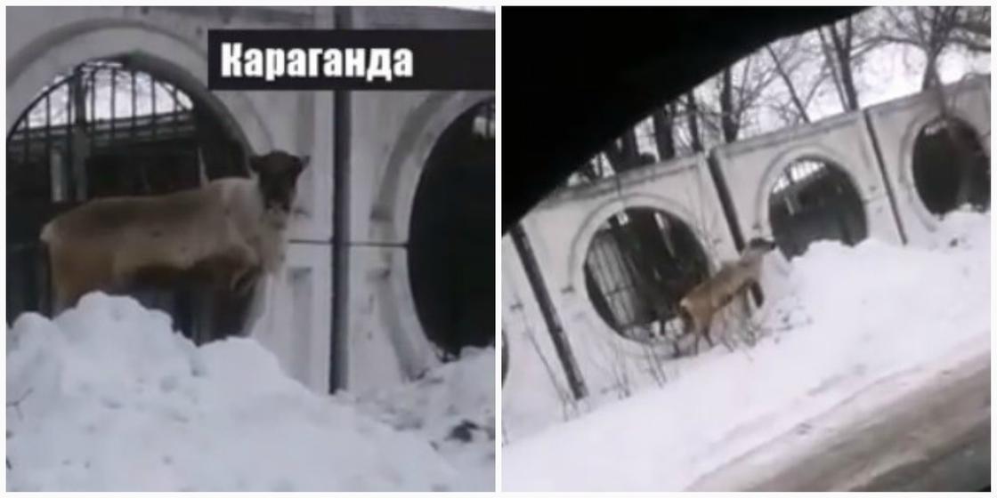 Олень сбежал из зоопарка в Караганде (фото)