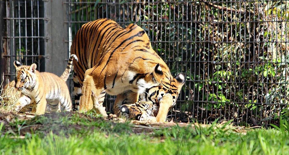 Тигрица в зоопарке Нью-Йорка заразилась коронавирусом