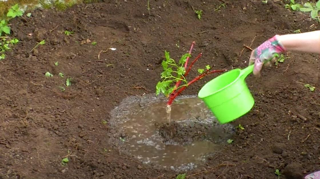 Саженец винограда поливают водой