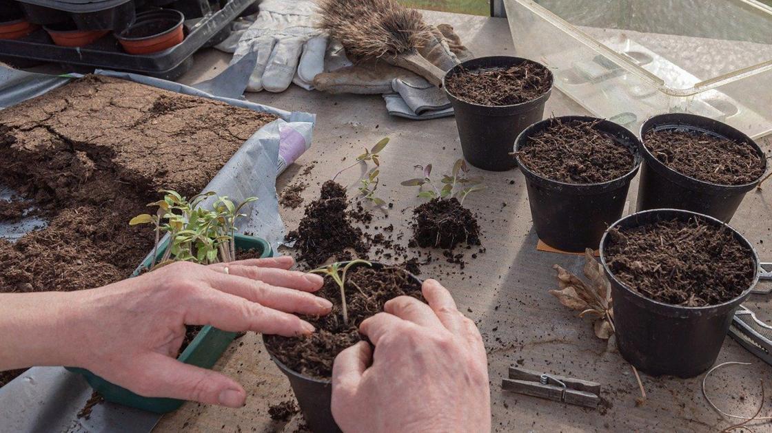 Сеянцы томатов пикируют в отдельные горшочки