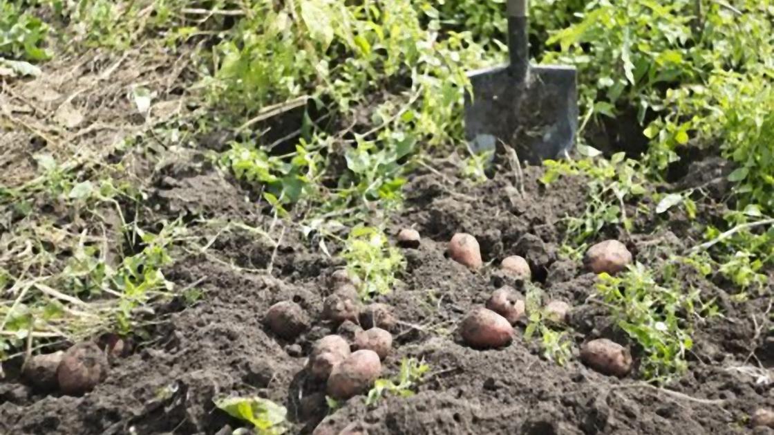 Картошка выкопана из земли
