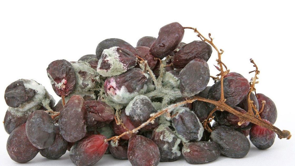 Виноградная гроздь с гнилыми плодами