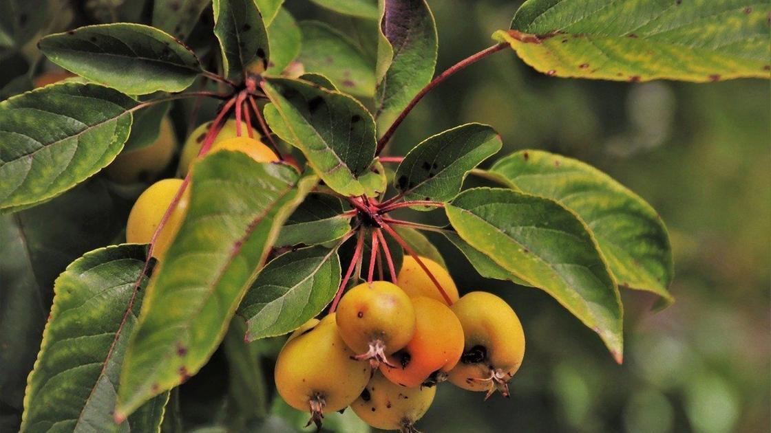 Листья и плоды яблони покрыты коричневыми пятнами
