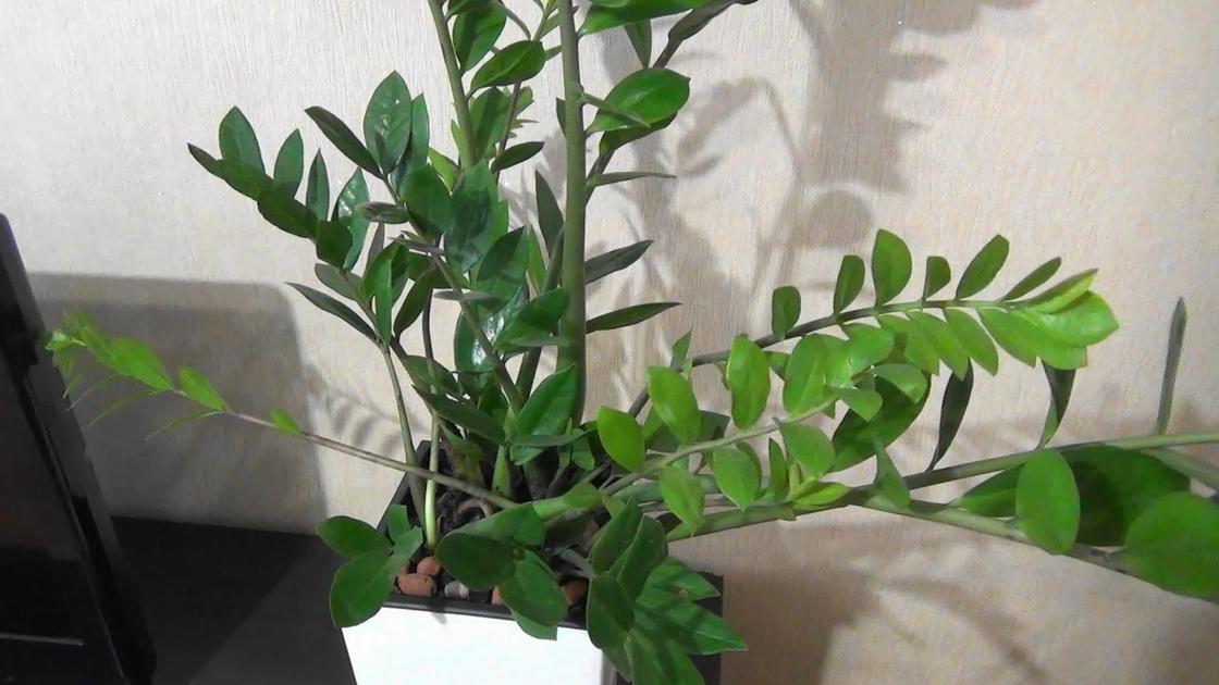 Замиокулькас или «долларовое дерево»