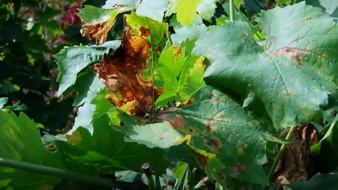 Коричневые пятна на зеленых листьях винограда