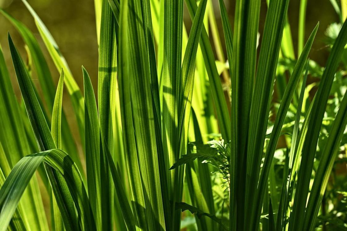 Аир болотный: применение, лечебные свойства