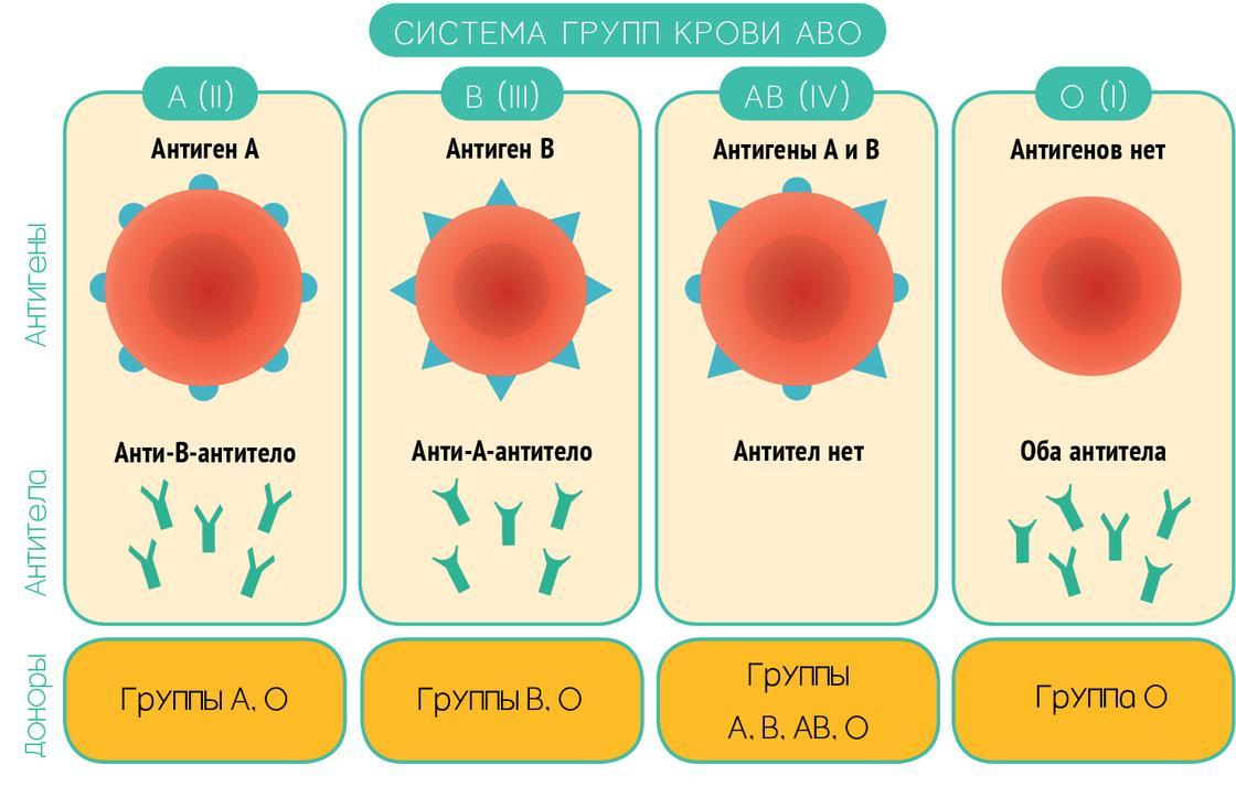12 фактов о крови: самая редкая группа, определение, совместимость, характер