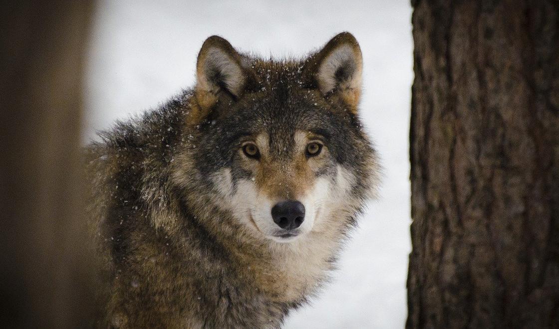 Волки массово уничтожают скот, но для их отстрела требуется разрешение
