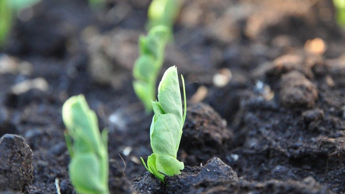 Зеленые ростки гороха на грядке