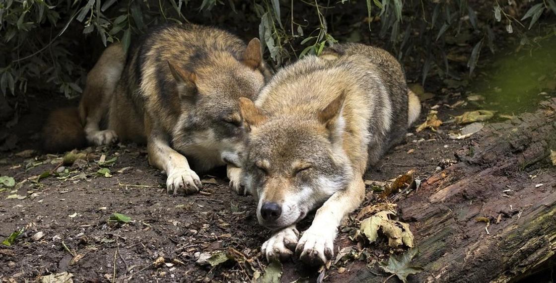 Видео об убитых в СКО волках распространяется в Сети