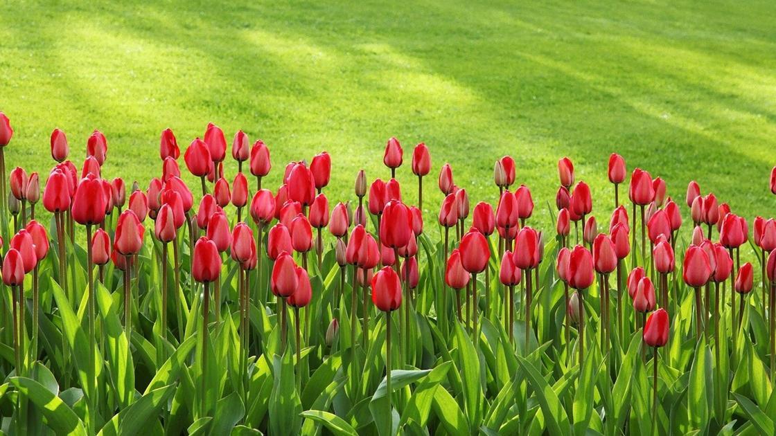 Красные тюльпаны цветут на клумбе