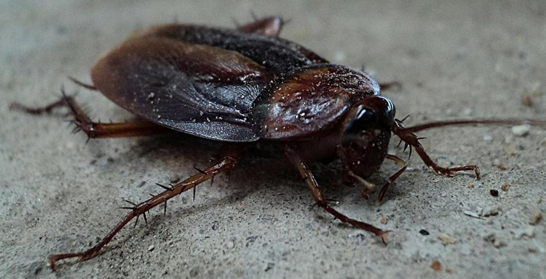 Ученый объяснил, почему избавиться от тараканов невозможно