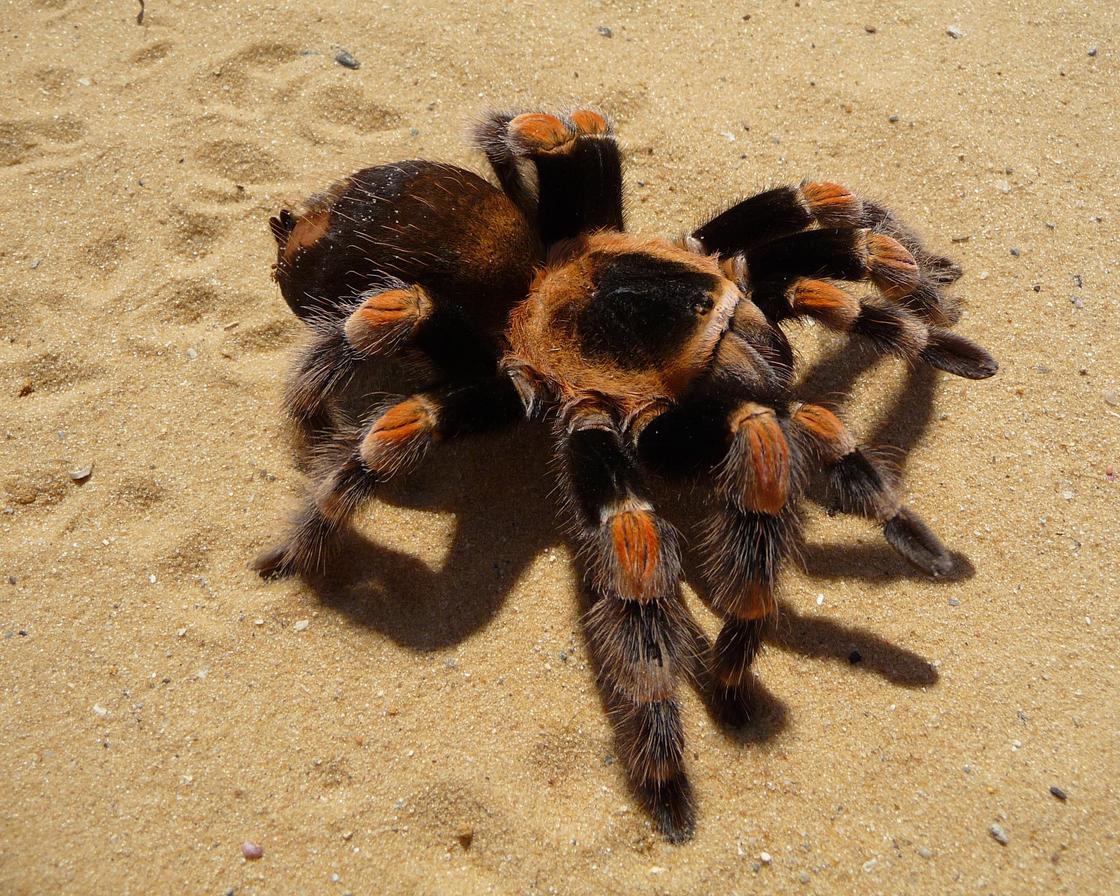 Волосатый паук на песке