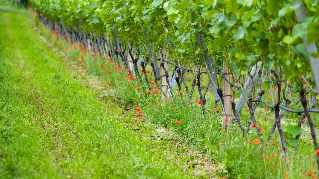 Виноградные кусты на опорах высажены рядами