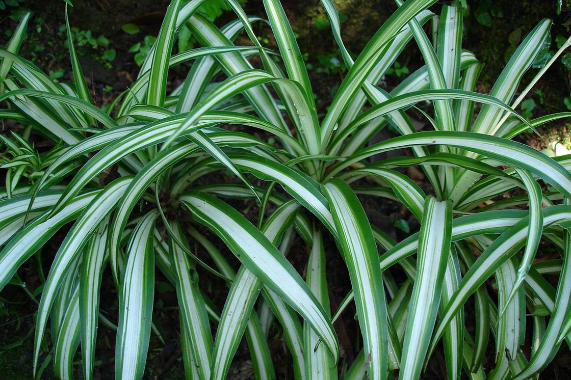 Растение с полосатыми листьями