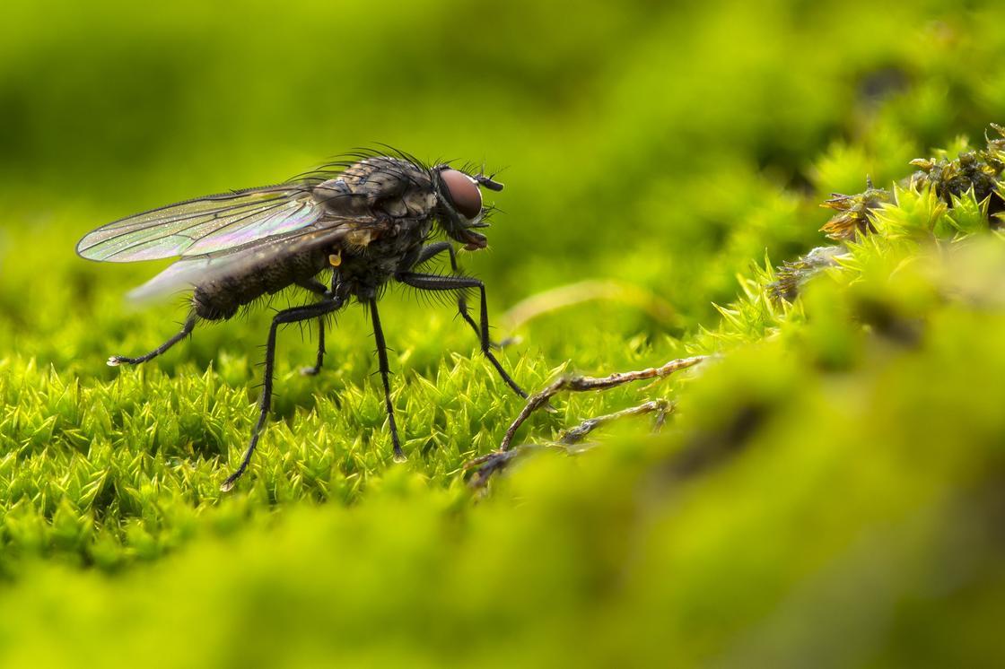Можно ли заразиться коронавирусом от мух и комаров