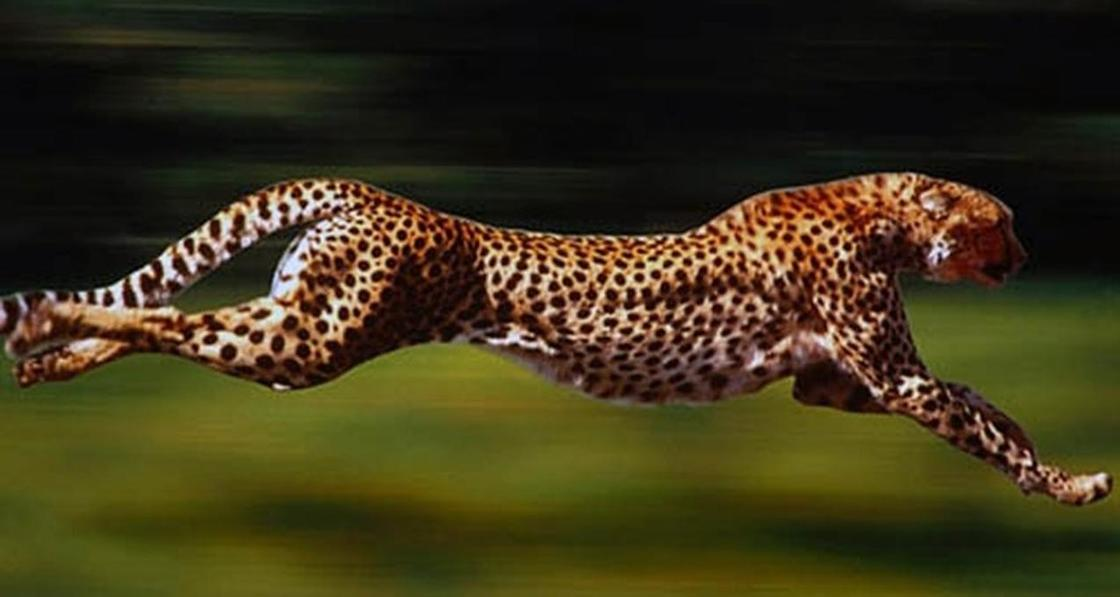 Дикая природа Африки: гепард