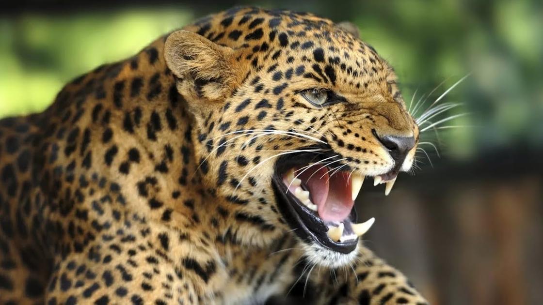 Дикая природа Африки: леопард