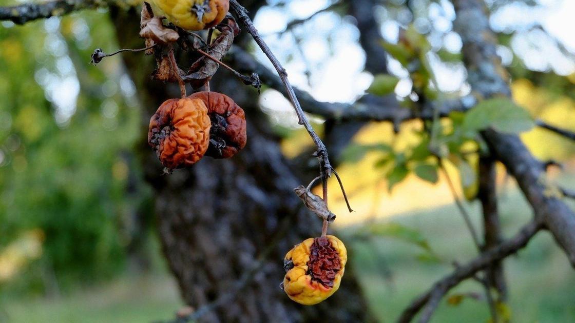 Деформированные усохшие плоды на яблоне
